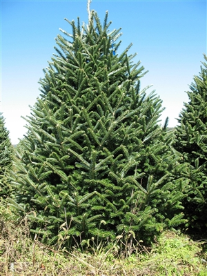 Buy A Real Large Christmas Tree Online Live Premium