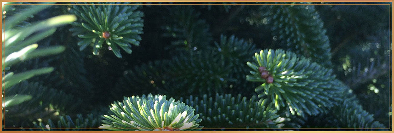 Fraser Fir Close-up -  needle shot